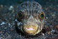 Narrow lined puffer arothron manilensis and cleaner shrimp Stock Image
