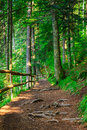 Narrow mountain path in a coniferous forest with small wooden fe fence near the slope of the tree roots have sprouted across the Stock Photography