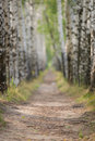 Narrow path in a birch grove. Stock Photo