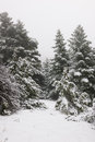Narrow path in pine forest under snow Stock Image