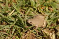 Narrowmouth Toad Royalty Free Stock Photo