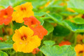 Nasturtium flowers Stock Photos
