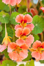 Nasturtium flowers in the garden Royalty Free Stock Images