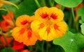 Nasturtium flowers Royalty Free Stock Photo