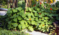 Nasturtium larger bush on the vegetable garden grew is an annual herb and flower use and use in kitchen Royalty Free Stock Photography