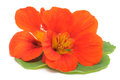 Nasturtium studio shot of orange colored on white background Stock Photography