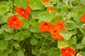 Nasturtium Royalty Free Stock Photo