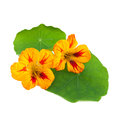 Nasturtium or tropaeolum flower isolated on white background Stock Photography