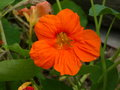Nasturtium Tropaeolum Garden Flower Royalty Free Stock Photo