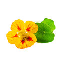 Nasturtium or Tropaeolum isolated on white Royalty Free Stock Photo