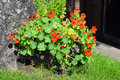 Nasturtium (Tropaeolum majus) Royalty Free Stock Photo