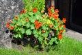 Nasturtium tropaeolum majus flowering in a garden Royalty Free Stock Photos