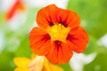 Nasturtium (Tropaeolum) Royalty Free Stock Photo