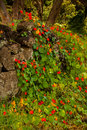 Nasturtium wild growing on stone wall Royalty Free Stock Photography