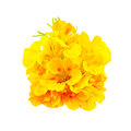 Nasturtium yellow bouquet Stock Photos