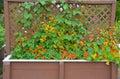 Nasturtiums growing on trellis orange and yellow nasturtium flowers Stock Photos