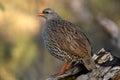 Natal francolin pternistes natalensis in kruger national park south africa Stock Photography
