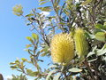 Native Australian Banksia Royalty Free Stock Photo