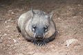Native australian wombat lying and looking out for something Royalty Free Stock Image