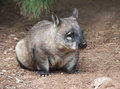 Native australian wombat sitting and looking out for something Royalty Free Stock Photos