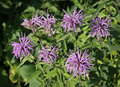 Native Bee Balm Stock Photos