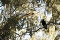Native Magpie bird on a gumtree branch Royalty Free Stock Photo