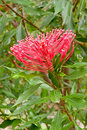 Native waratah flower Royalty Free Stock Photos