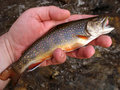 Native Wild Trout Stock Image
