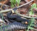 Natrix Natrix, Gras-Schlange Stockfotografie