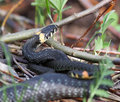 Natrix natrix, Grass Snake Stock Photography