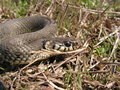 Natrix natrix - Grass Snake Royalty Free Stock Image