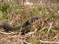 Natrix natrix male of grass snake from northern greece Stock Photography