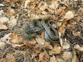 Natrix natrix male of grass snake sitting in grass Royalty Free Stock Image