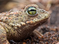 Natterjack portrait Stock Images