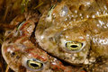 Natterjack toad bufo calamita in valdemanco madrid spain amplexo of a pair Stock Image