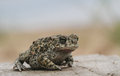 Natterjack toad Bufo Epidalea calamita. It is a very rare Amphibian in the U.K. Royalty Free Stock Photo