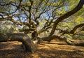 Natura del sud dello sc di carolina lowcountry angel oak tree charleston scenica Fotografia Stock