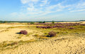 Natural area of sand dunes and heathland in summertime Royalty Free Stock Photo