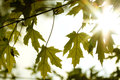 Natural autumn green and yellow maple leaves and sunshine Royalty Free Stock Photo