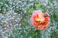 The natural backdrop of baby`s breath with rose and snail