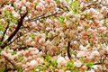 Natural background close up rich blooming tree branches Stock Images