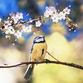 Square natural background with cute bird chickadee sitting among the white flowers of the cherry in the may spring fragrant garden Royalty Free Stock Photo