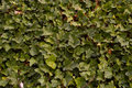 Natural background green ivy as for spring Stock Image