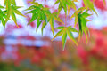 Natural background of Japanese maple leave in autumn season at Kyoto Royalty Free Stock Photo