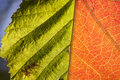 Natural background with leaf the veining of two leafs Royalty Free Stock Images