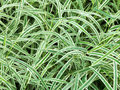 Natural background from wet green leaves of Carex Royalty Free Stock Photo
