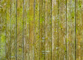 Natural barn wood wall covered with green moss or lichen. Royalty Free Stock Photo