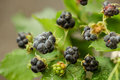 Natural blackberry branch with leaves and berries Royalty Free Stock Photo