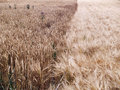Natural border between rye and wheat field Stock Photography