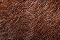 Natural brown nutria fur Royalty Free Stock Photos